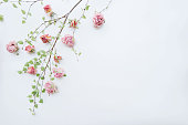 Beautiful lender blossoming tree branch with dead roses by it, looks like blossoming sakura, white background top view, flat lay