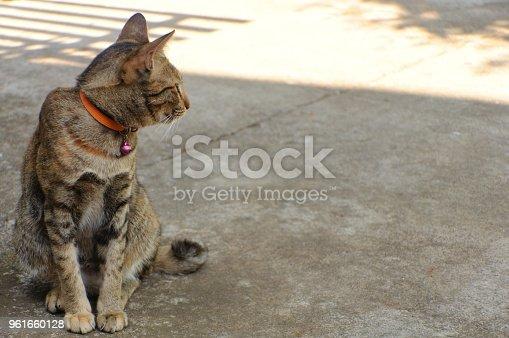 626958754 istock photo Beautiful leopard color cat 961660128