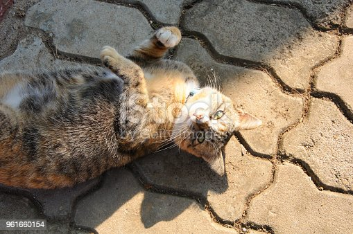 626958754 istock photo Beautiful leopard color cat 961660154