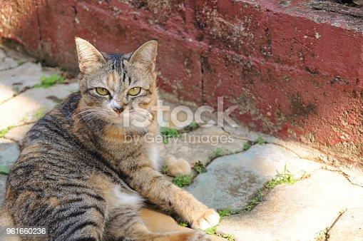 626958754 istock photo Beautiful leopard color cat 961660236