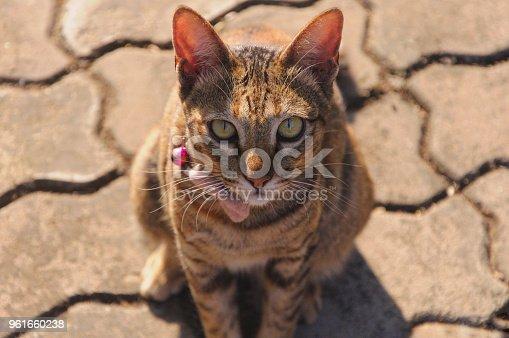626958754 istock photo Beautiful leopard color cat 961660238