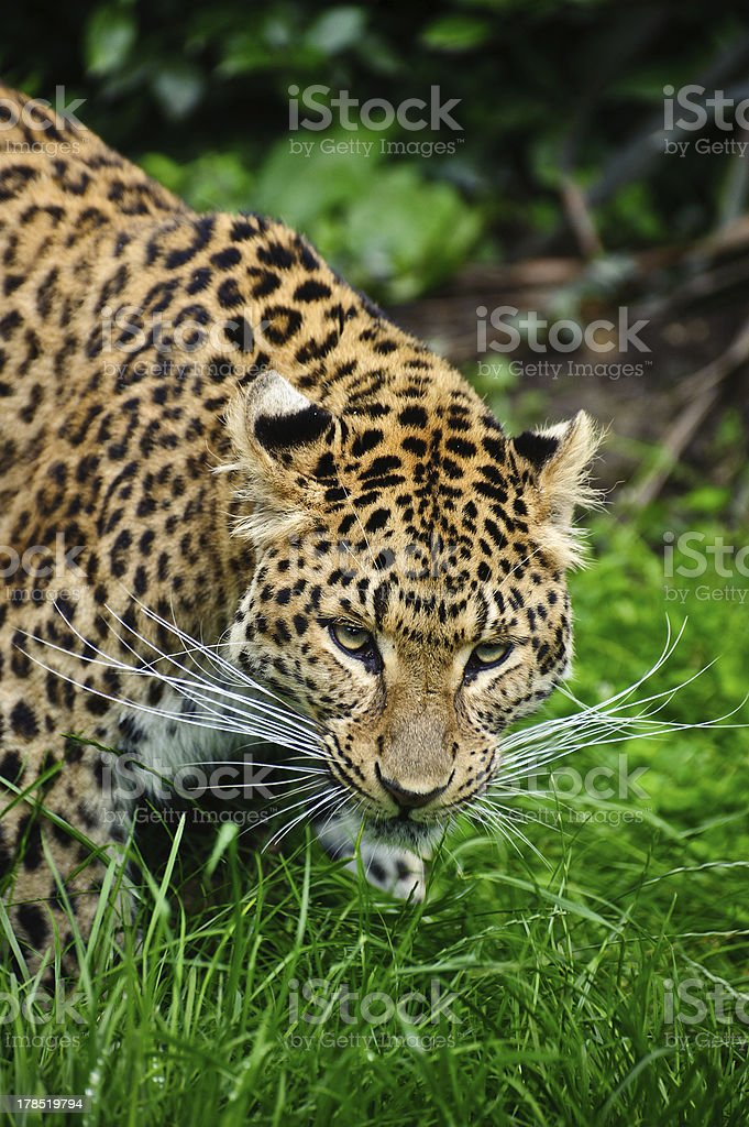 Beautiful leopard Panthera Pardus big cat royalty-free stock photo