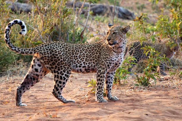 schöne leopard mit ihrem baby in der savanne namibias - namib wüste stock-fotos und bilder