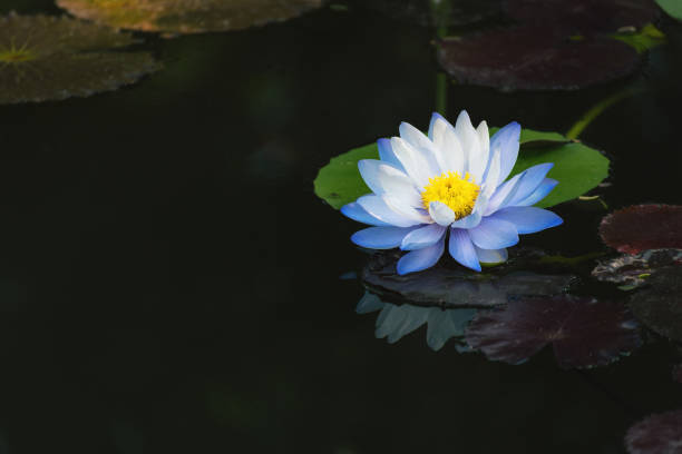 Royalty free purple lotus meaning pictures images and stock photos beautiful light blue lotus flower on deep blue water surface stock photo mightylinksfo