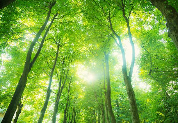 美しい光が緑の森 - 木漏れ日 ストックフォトと画像