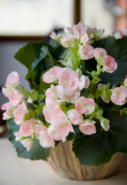 mooie licht roze begonia in bloei op de tafel foto