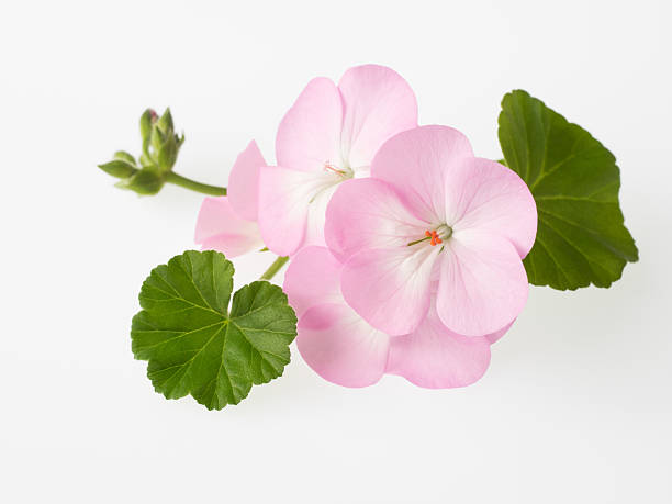 Beautiful light pink geranium stock photo