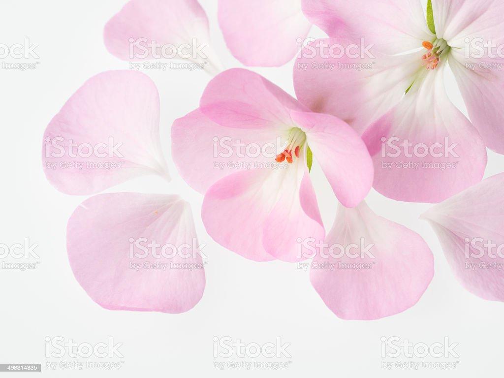 Schöne Rosa Geranie – Foto