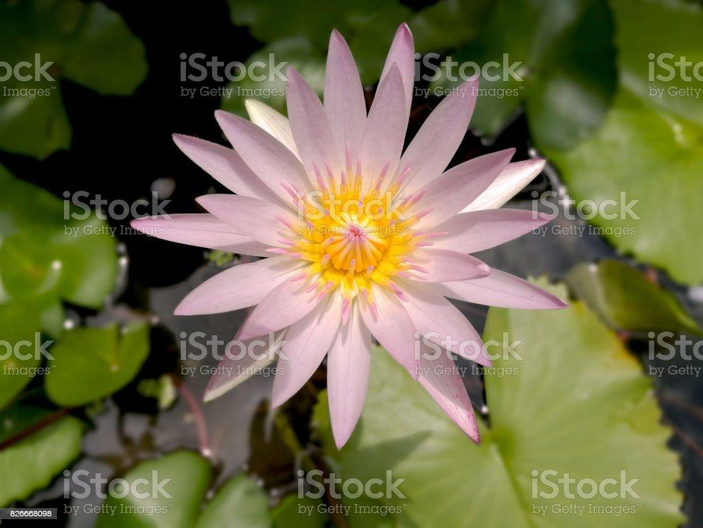 Beautiful light pink lotus and purple lotus flowers or waterlily stock photo