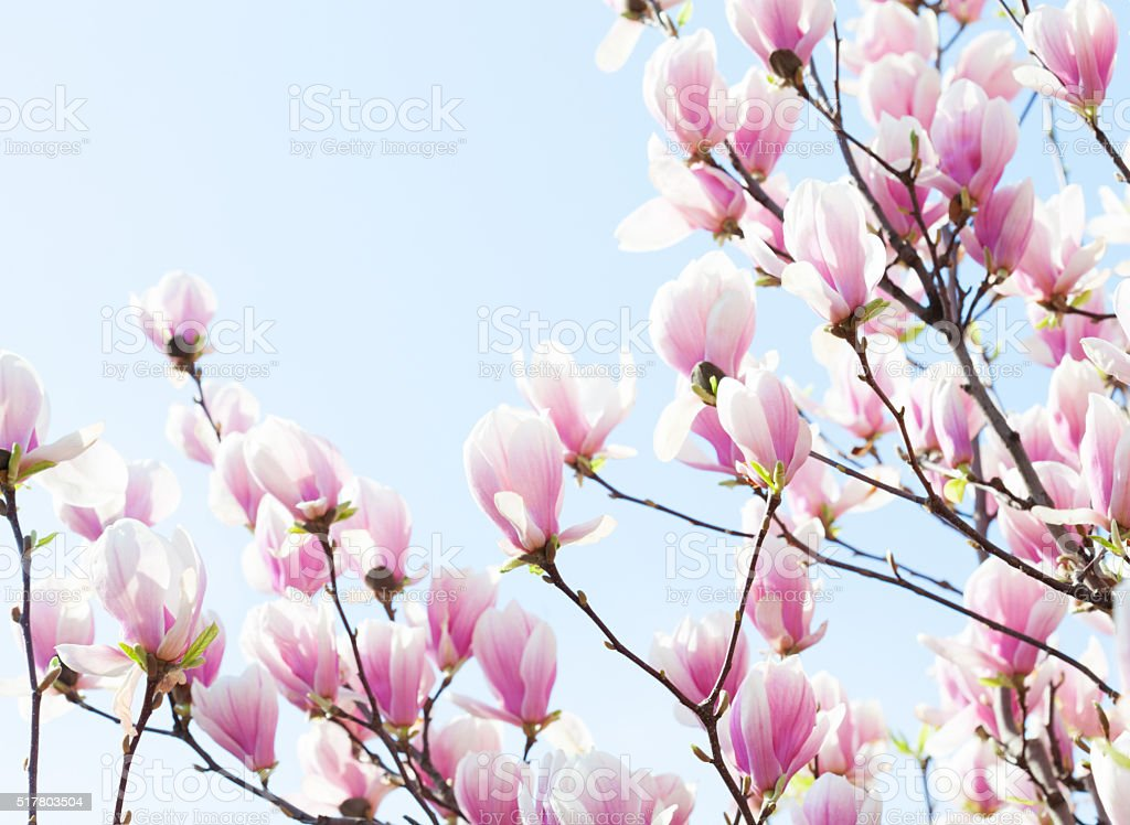Beautiful light pink magnolia flowers on blue sky background stock photo more pictures of - Magnolia background ...