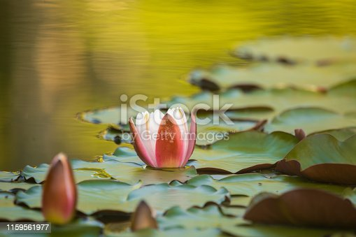 A beautiful light pink water lilies growing in a natural pond. Colorful summer scenery with water flowers.