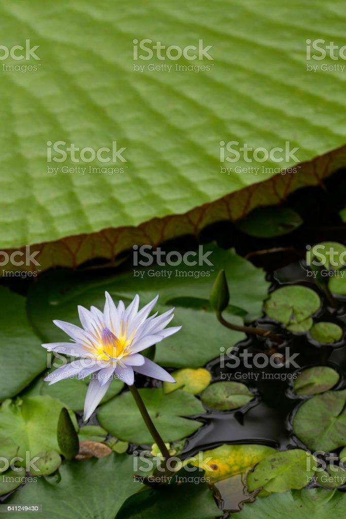 Beautiful light purple water lily stock photo