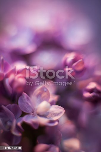 Beautiful lilac blurred spring flower background and texture. Lilac is blooming in spring and has all shades of violet and gentle petals.