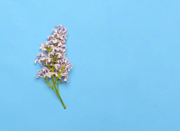Beautiful Lilac branch isolated on blue background. Flat lay, top view. Spring floral concept stock photo