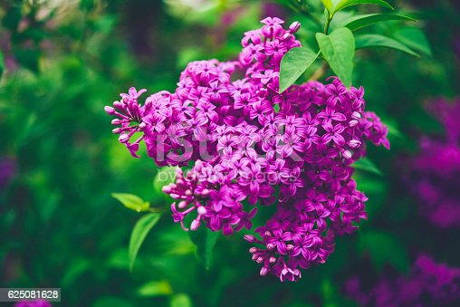 Beautiful lilac bushes in full bloom. Springtime in nature