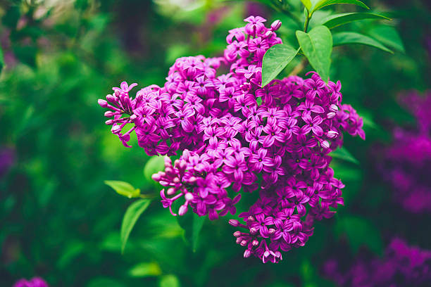 beautiful lilac bushes in full bloom. springtime in nature - 수수꽃다리속 뉴스 사진 이미지