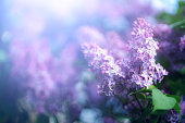 istock Beautiful lilac flowers 1204187765