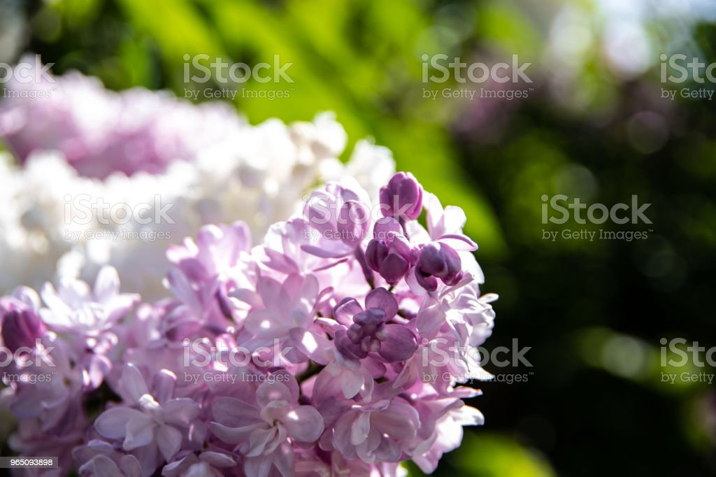 Beautiful lilac flowers royalty-free stock photo