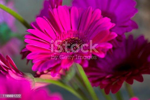 Beautiful lilac Gerbera flower closeup on natural background.