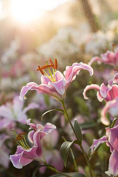 Schöne Lilie Blume im Regen und Sonnenuntergang – Foto