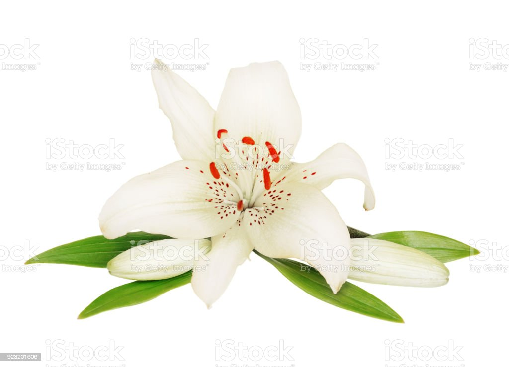 Beautiful Lily flower on a white background stock photo