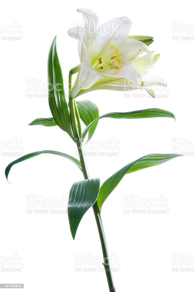 Beautiful lily flower on white. stock photo