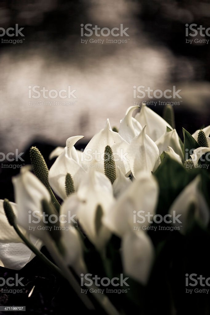 beautiful lily with depth of field royalty-free stock photo