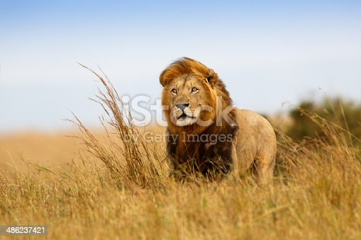 He is watching the wildebeest and they come closer and closer.