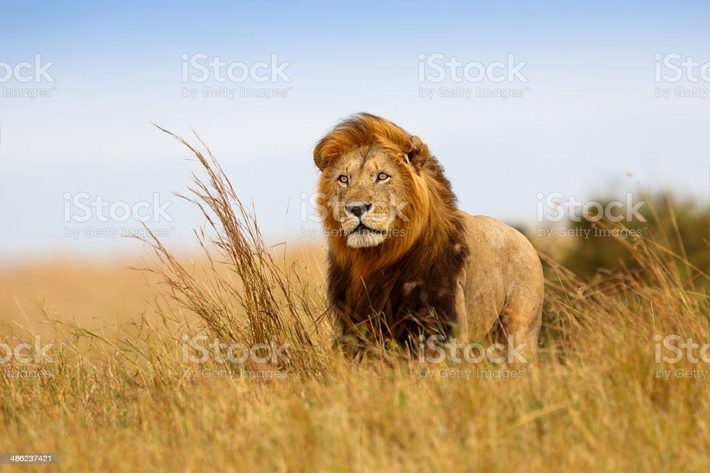 Magnifique Lion César dans l'herbe d'or de Masaï Mara - Photo