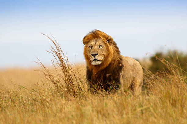 beautiful lion caesar in the golden grass of masai mara - 哺乳動物 個照片及圖片檔