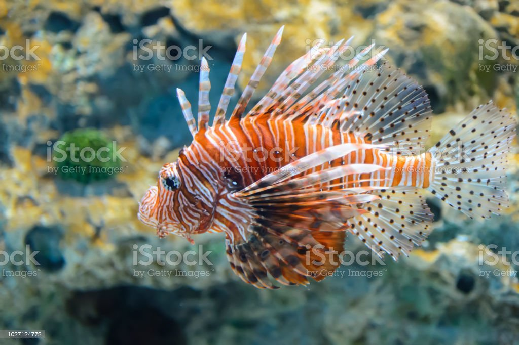 Beautiful lion fish wandering in the water stock photo