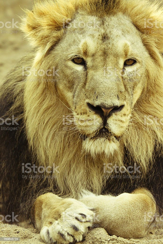 Beautiful lion stock photo