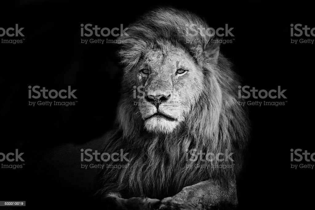Beautiful Lion Romeo 2 in Masai Mara, Kenya stock photo