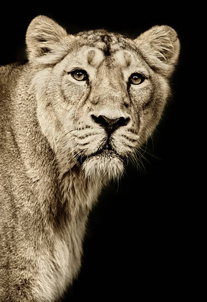 beautiful lioness - lioness stock photos and pictures
