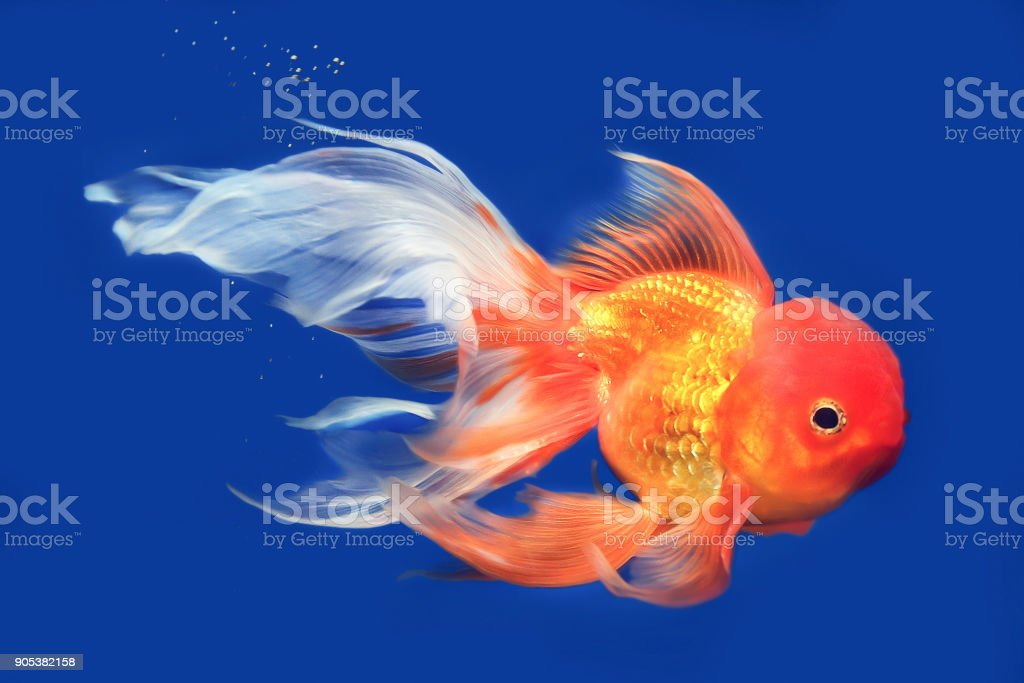 Beautiful Lionhead Goldfish Swimming In The Aquarium Stock Photo Download Image Now Istock
