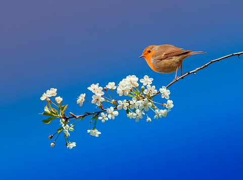 beautiful little bird Robin sitting in the may spring garden on a branch of cherry blossoms on a blue sky background