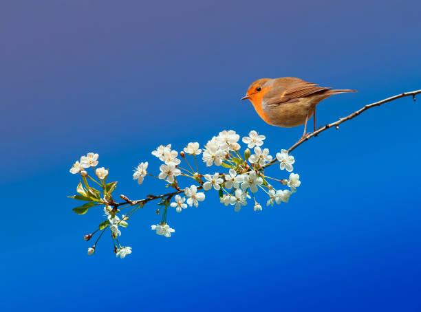 vacker liten fågel robin sitter i maj våren trädgård på en gren av körsbär blommar på en blå himmel bakgrund - maj bildbanksfoton och bilder