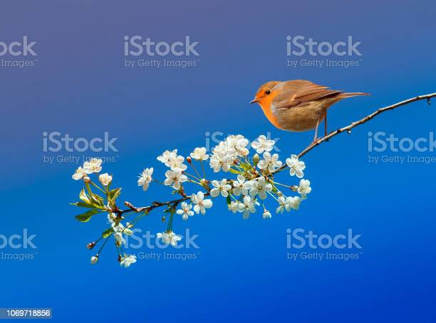 Photo of beautiful little bird Robin sitting in the may spring garden on a branch of cherry blossoms on a blue sky background
