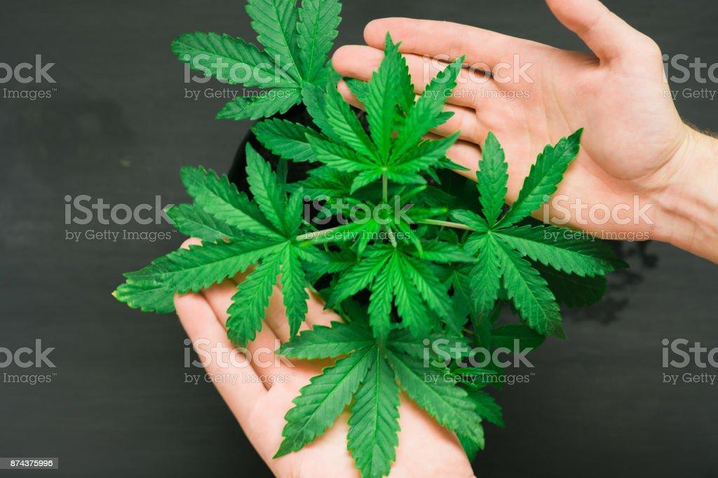 Ein Schones Kleines Cannabis Blatt Konzept Der Anbau Von Marihuana
