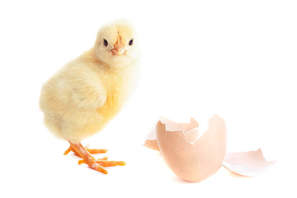 beautiful little chick and eggshell stock photo