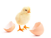 beautiful little chick  and eggshell isolated on the white