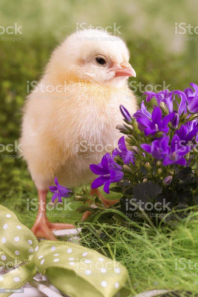 Beautiful little chicken royalty-free stock photo