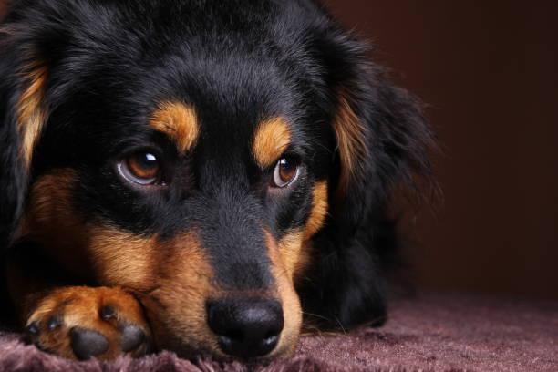 schöne kleine hund - hundeaugen stock-fotos und bilder
