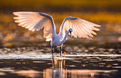 White little egret with spread wings in a lake.