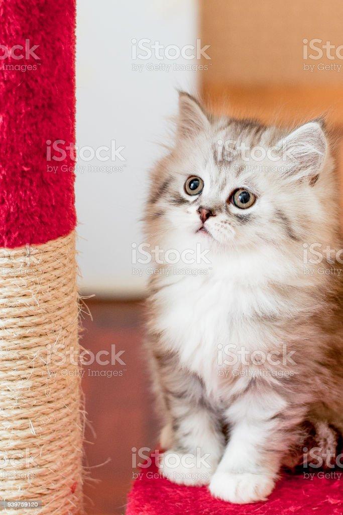 Schone Kleine Flauschige Katze Drinnen Stockfoto Und Mehr