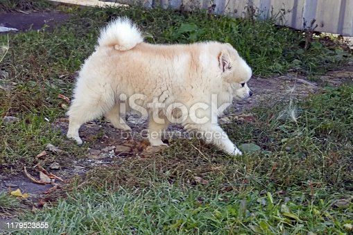 little fluffy puppy walking on the ground