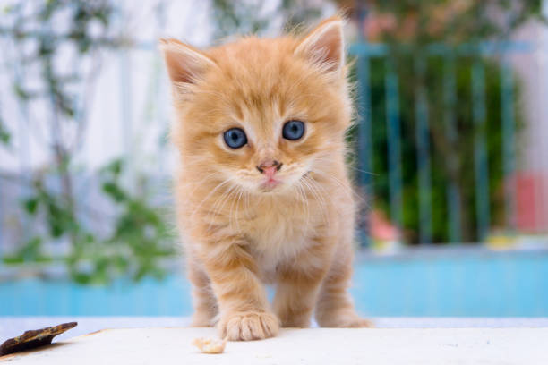 Beautiful little red kitten with blue eyes in street background of picture id1160501940?b=1&k=6&m=1160501940&s=612x612&w=0&h=dzojulaninqgqv u6afrcovhsdd9m a2cblaj87kvva=