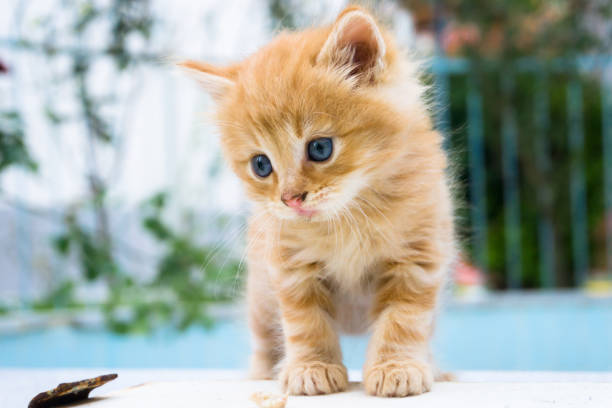 Beautiful little red kitten with blue eyes in street background of picture id1161199393?b=1&k=6&m=1161199393&s=612x612&w=0&h=fce2uge nwes1np5y5biksrqa1plprz26ub6jgg9yew=