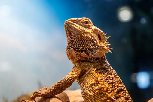 Beautiful Lizard Bearded Agama Pogona Vitticeps Stock ...