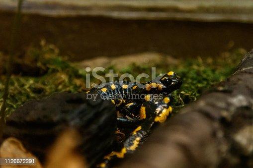 Beautiful lizard in the grass common fire salamander close up